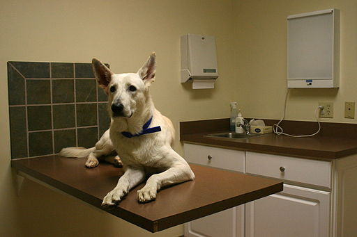 512px-2008-12-01_White_GSD_at_the_vet